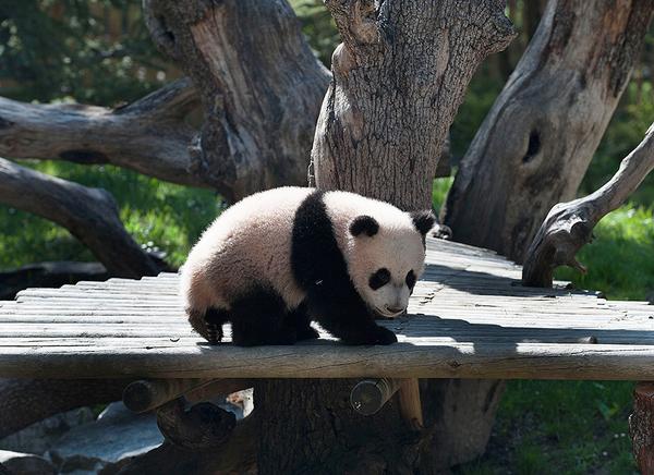 """大熊猫""""星宝""""亮相马德里动物园"""