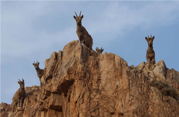 罕见一级保护动物北山羊现身甘肃肃北