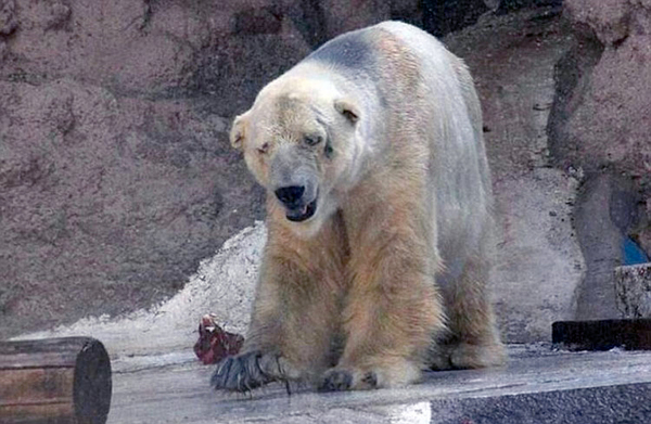 a高温北极熊受动物园40度高温折磨患精神病拉兔子屎便图片
