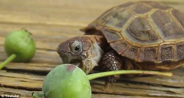 超萌小乌龟艰难啃苹果 屡次张嘴就是吃不到