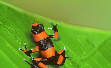 浙江口岸全国首次截获活体箭毒蛙 系全球最美丽青蛙