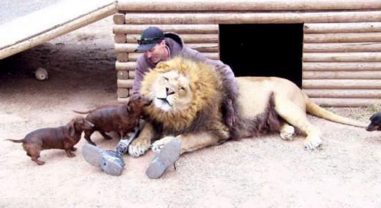 美动物园雄狮和小狗形影不离成好伙伴