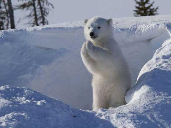 国际在线专稿:据英国《每日邮报》9月3日报道,43岁的美国摄影师克雷格·哈维(Greg Harvey)日前在加拿大曼尼托巴省瓦普斯克国家公园(Wapusk National Park)抓拍到了一组北极熊宝宝卖萌的照片,它挥手、作揖和伸懒腰的可爱模样大受观众喜爱。   这只北极熊宝宝从它的冰洞出来后,两条腿站着向镜头挥舞手臂,似乎是在和摄影师打招呼;随后它又将两只熊掌合拢,可能是想把身上的雪抖掉,但看起来像是在拱手作揖,有趣极了。   克雷格在网上回应了观众们关于如何拍到这组照片的疑惑,