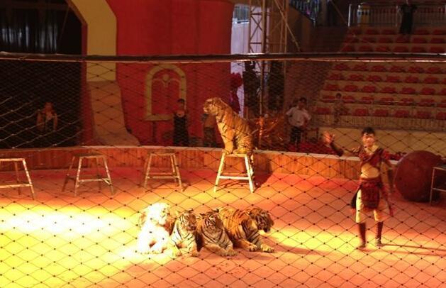 重庆马戏团驯老虎时防护网倒地 1名女孩被咬死