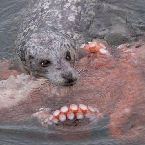 猴子活吞巨型海豹:下肚十几分钟搏斗王者者荣耀国服章鱼图片