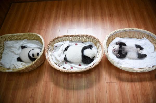 雅安:新生大熊猫宝宝集体亮相