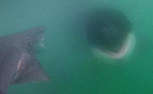 要闻 沸点      日前,在新西兰北岛一海湾处,16只虎鲸组成的鲸群追赶