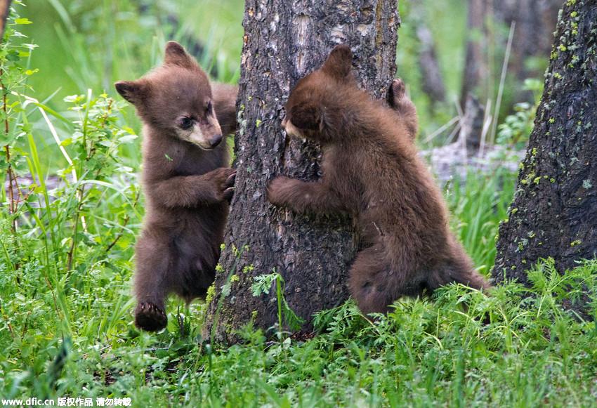 两只小熊大树下玩躲猫猫