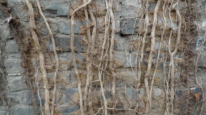解放门段城墙上的植物有的枯萎了,有的还生机勃勃 现代快报记者 赵杰 摄 前几天,有市民经过南京中华门城堡时发现,城门一侧的爬藤植物还是绿的,另一侧的已经干枯。整座城门一半绿一半黄,像阴阳脸。市民建议把干枯的植物清理掉,这样就不会影响城墙的美观了。 干枯的植物像络腮胡子 要不要清理? 除了中华门城堡,汉中门、解放门也被大片干枯的植物侵占。昨天,现代快报记者来到解放门,有一段城墙看起来绿油油的,各种爬藤植物铺成一张网。但向前走了没几步,紧挨的一段城墙被干枯的植物覆盖,透出灰色的砖石,其中一种植