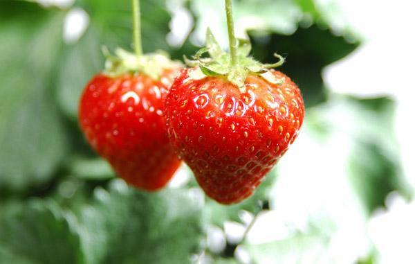 矢量 水果 小果 植物
