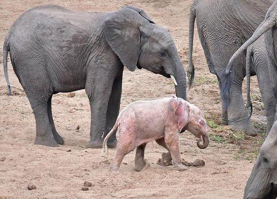 操南非逼_近日,有游客日前在南非克鲁格(kruger)国家公园中发现了一头粉红色幼