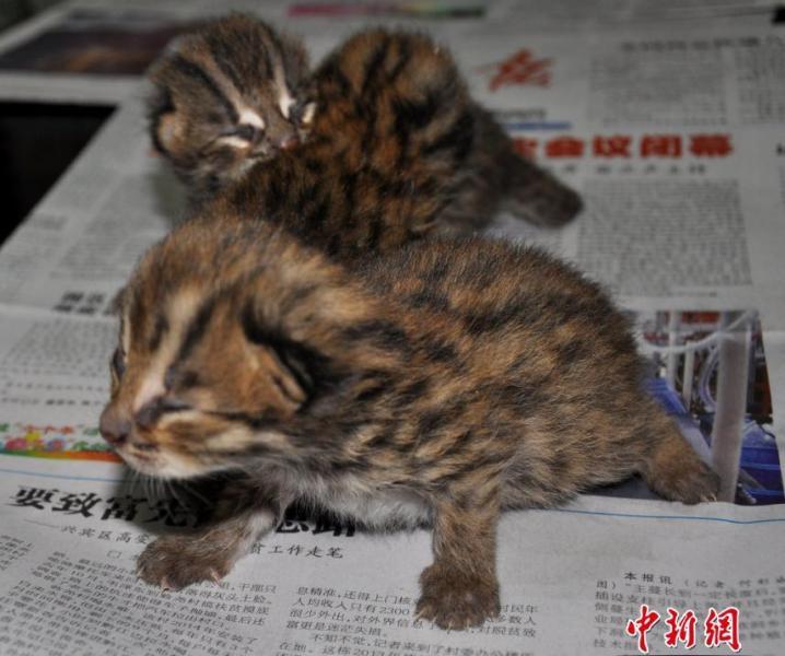 广西村民甘蔗地发现二级保护动物野生豹猫
