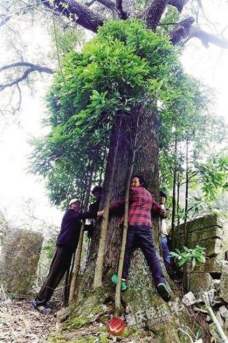 三峡库区古楠木树王 800岁金丝楠4个人抱不住