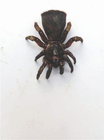 有价值 自2000年在四川省芦山县龙门镇被发现后,野生里氏盘腹蛛在国内仅发现过6只。这次蒲江的发现是四川第二次发现这种稀有蜘蛛,应该是该种最北的分布记录。  有历史 里氏盘腹蛛,为螲蟷科盘腹蛛属,是最符合我国文字记载最早的蜘蛛之一,公元前5世纪到公元前2世纪的辞书《尔雅》中《释虫》曾有相关记载,谓之蛈蜴。 14日,蒲江村民李文华在自家橘子树林里,一锄头挖出个外形很奇特的怪物。消息很快在蒲江县甘溪镇箭塔村周围传开,附近的村民都争相去李文华家里看稀奇。 后经知名昆虫专家、华希昆虫博物馆馆长赵力认定,