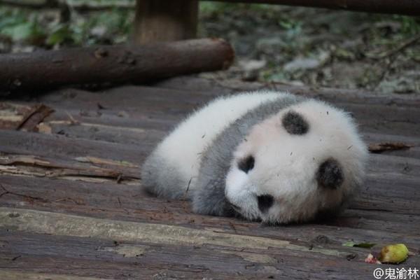"""游客用食物砸醒熊猫 动物园首开""""乱投喂""""罚单"""