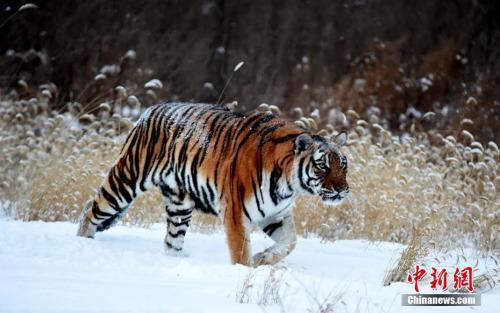 游客无视电网近距离观虎?动物园:游客碰不到电网