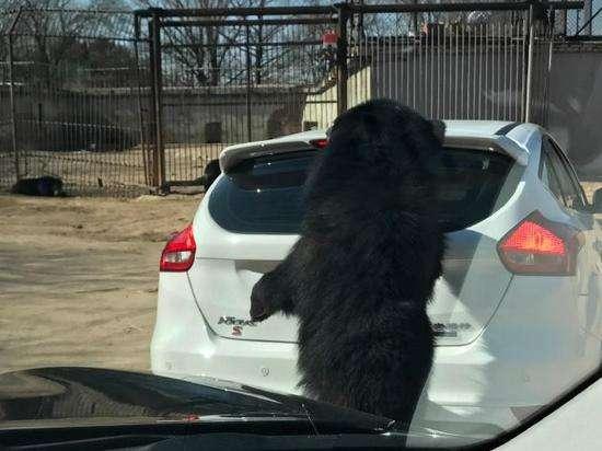八达岭动物园黑熊围堵 事后发现车身留下抓痕