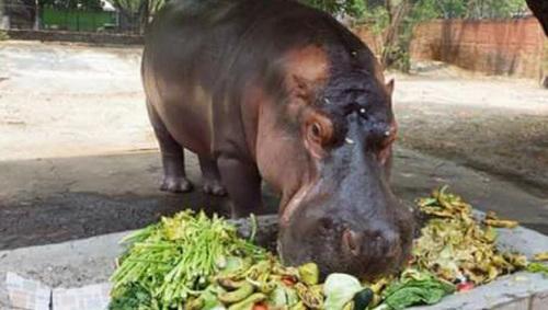 萨尔瓦多动物园明星河马遭攻击致死 引发民众愤怒