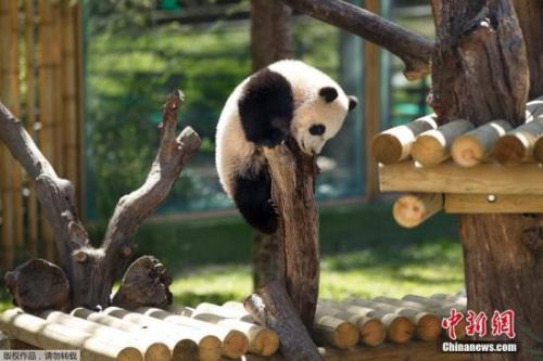 日本和歌山三头大熊猫将前往中国 动物园将送别