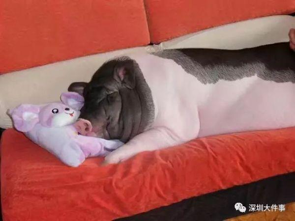 女孩把宠物猪养成400斤 5个彪形大汉才抬得动