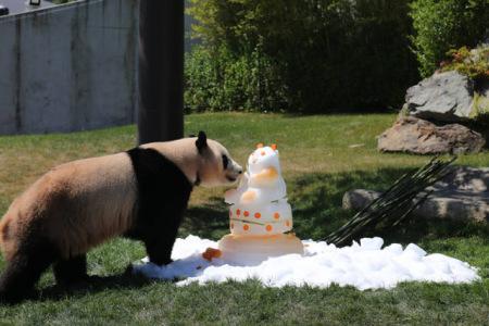 """大熊猫""""优浜""""享用动物园准备的礼物——一个由竹子,胡萝卜,苹果,蜂蜜"""