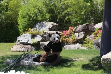 """6月4日,在日本和歌山县白浜野生动物园,大熊猫""""优浜""""在送别仪式上啃"""