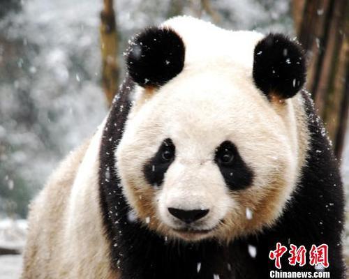 """大熊猫""""仙女""""资料图片. 钟欣 摄"""