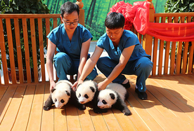 @所有人 有三只满百天的大熊猫征名认养啦