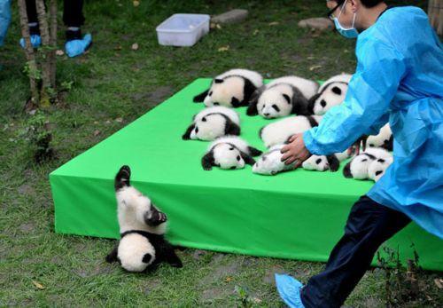 日本上野动物园熊猫宝宝将亮相:抽签观看 限5分钟