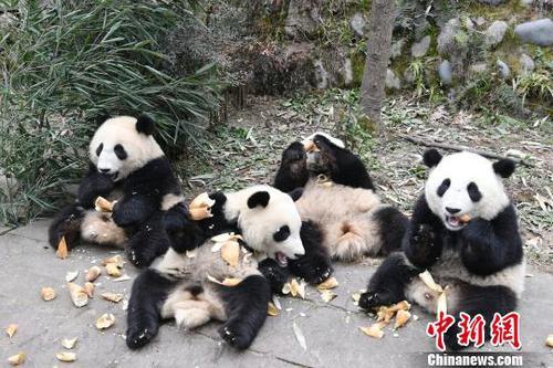大熊猫资料图. 安源 摄