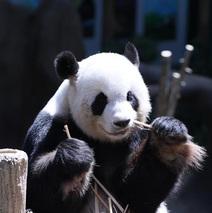 """旅马大熊猫""""靓靓""""诞下第二只宝宝"""