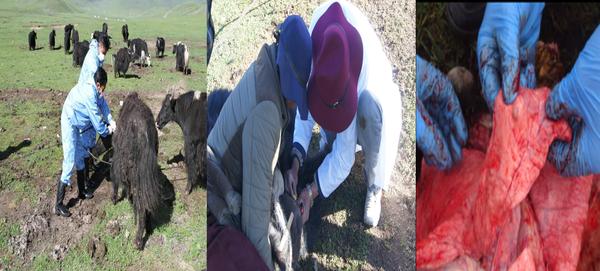 羊包虫病疫苗对牛免疫效果获证实