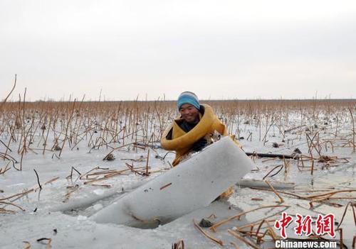 图为挖藕人正在破冰。 韩冰 摄