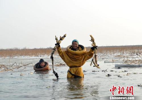 图为挖藕人展示挖到的莲藕。 韩冰 摄