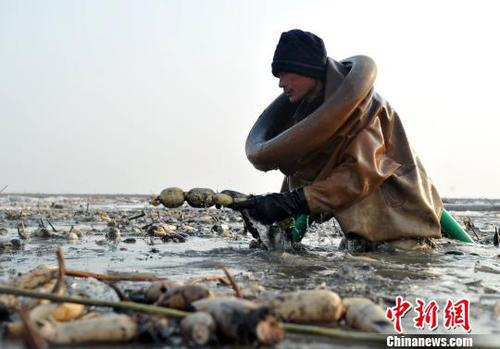 图为挖藕人正在挖藕。 韩冰 摄