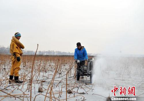 图为挖藕人正在用电锯切割冰层。 韩冰 摄