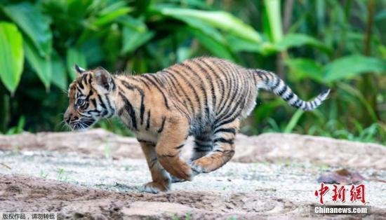 美国动物园发生老虎伤人事件 园方:不会对虎安乐死