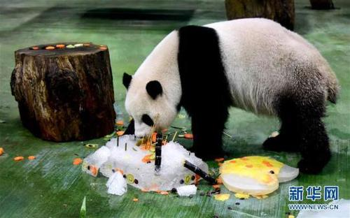 """大熊猫""""圆仔""""享用""""生日蛋糕""""。新华社记者朱祥摄"""