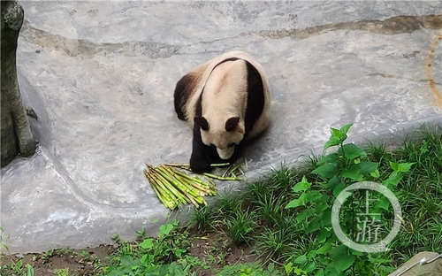 世界罕见!重庆动物园两只大熊猫同日生下双胞胎
