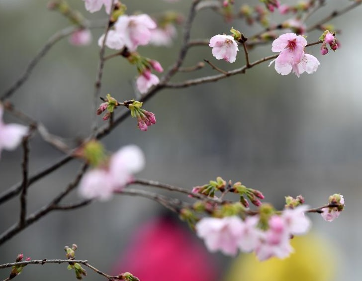 玉渊潭公园开启赏樱季