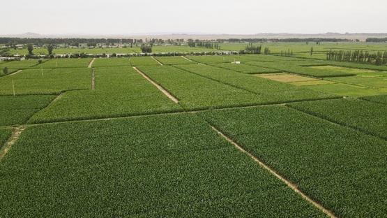中国从短板突破追赶世界种业
