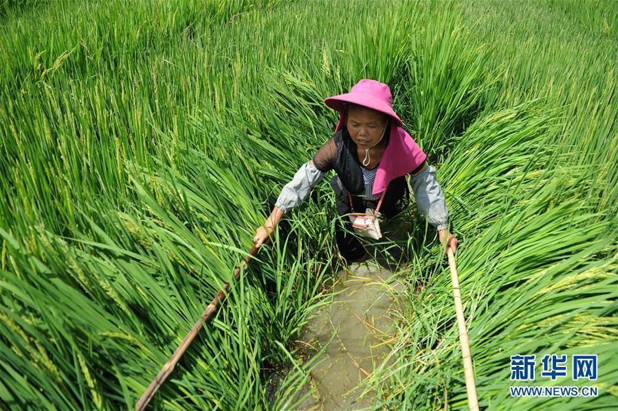 全国杂交水稻双季亩产3000斤项目在三亚首获丰收