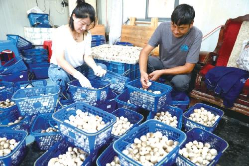 浙江温岭:调室温 种草菇
