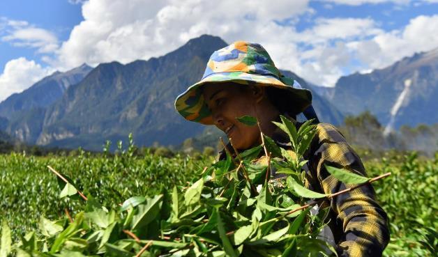 西藏易贡进入秋茶采摘季